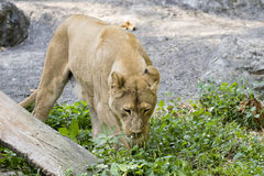Image of a female lion on nature background. Royalty Free Stock Image