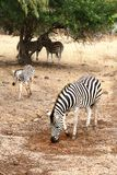 Female zebra with young Stock Images
