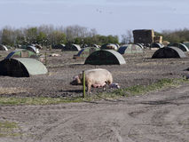 Image of Field Pigs with their shelters Royalty Free Stock Images