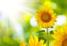 Image field of sunflowers Royalty Free Stock Photography
