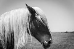 Image filtr?e de t?te de cheval belge au plan rapproch? am?ricain de ranch de ferme photographie stock