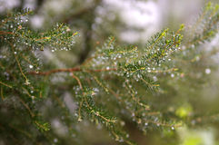 Image of fir branches closeup Stock Photo