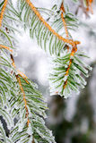 Image of fir branches Stock Images