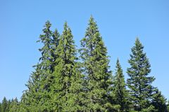 Firs against sky. Image of firs against blue sky Stock Image