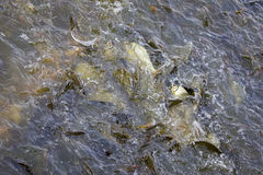 Image of a fish herd in the waterJava barb, Silver barb. Royalty Free Stock Images