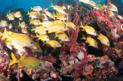 Image of fish on a reef in south Florida. royalty free stock images