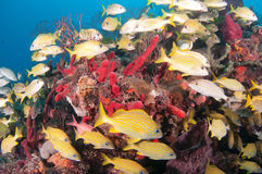 Image of fish on a reef in south Florida. Royalty Free Stock Image