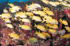 Image of fish on a reef in south Florida. Royalty Free Stock Photography