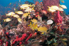 Image of fish on a reef in south Florida. Royalty Free Stock Photos