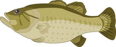 Image of fish on a white background. Vector Royalty Free Stock Images