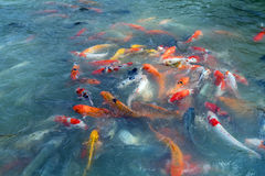 Image of fishes named Cyprinus carpio. Thailand Stock Photography