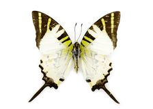 Image of Fivebar Swordtail Butterfly Graphium antiphates Stock Photography