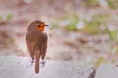 Flame robin bird royalty free stock photography