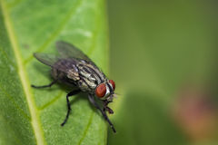 Image of a flies Diptera on green leaves. Insect. Royalty Free Stock Photo