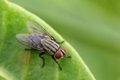 Image of a flies Diptera on green leaves. Stock Photography