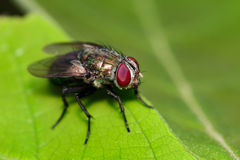 Image of a flies Diptera on green leaves. Insect. Stock Photography