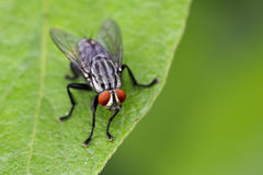 Image of a flies & x28;Diptera& x29; on green leaves. Insect Stock Photography