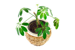 The image of a flower in a pot of room schefflera Royalty Free Stock Photo