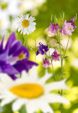 Image of flowers daisies in garden on a green background Stock Photo