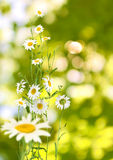 Image of flowers daisies on a green background Stock Photos