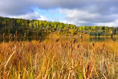 Fluffy Brown Cattails. An image of fluffy brown cattails at the edge of a marshy pond in late autumn stock image