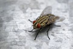 Image of a fly Diptera on zinc metal. Insect. Royalty Free Stock Photo