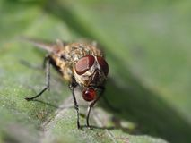 Image of a fly with a red liquid on its mouth stock images