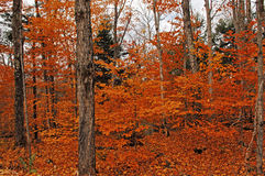 Image of forest in the fall. Royalty Free Stock Photo