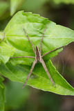 Image of Four-spotted Nursery Web Spider. Image of Four-spotted Nursery Web Spider & x28;Dolomedes triton& x29; on a green leaf. Insect Animal Stock Photography