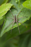 Image of Four-spotted Nursery Web Spider. Image of Four-spotted Nursery Web Spider & x28;Dolomedes triton& x29; on a green leaf. Insect Animal Stock Image