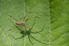 Image of Four-spotted Nursery Web Spider. Royalty Free Stock Images