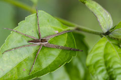 Image of Four-spotted Nursery Web Spider. Royalty Free Stock Photo