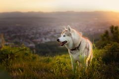 Image of free beige and white Siberian Husky dog standing on the hill at sunset on mountains and the city background. Profile Image of free and prideful beige Stock Images