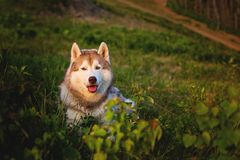 Image of free and prideful beige and white Siberian Husky dog lying in the green grass at sunset on mountain background. Portrait of free and prideful beige and Stock Photos