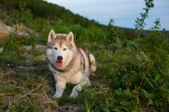 Portrait of free prideful beige Siberian Husky dog lying on the hill in the green grass at sunset on mountain background. Image of free and prideful beige and Royalty Free Stock Photo