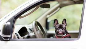 French Bulldog Royalty Free Stock Images
