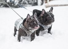 Image of the French bulldog, Stock Photography