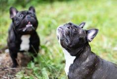 Image of the French bulldog, stock photo