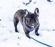 Image of the French bulldog, Royalty Free Stock Photos