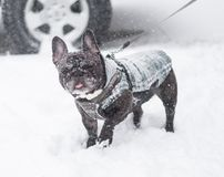 Image of the French bulldog, Stock Images