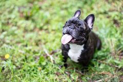 Image of the French bulldog,. Image of the french bulldog , fun , nature , love stock photo