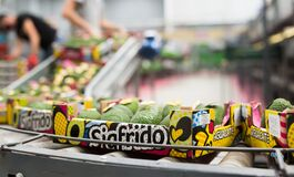 Image of fresh avocado in crates during packaging at Sigfrido factory