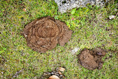 Image of fresh cow dung on grass Royalty Free Stock Photo