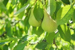 Image of fresh leaves and pears with raindrops on pear tree branch royalty free stock photography
