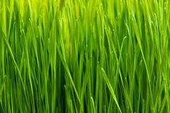 image of fresh spring green grass Stock Image