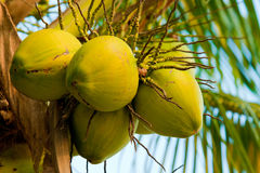 Image of fresh young coconut tree Royalty Free Stock Photo