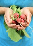 Freshly picked radishes. Image of a freshly picked radishes from the garden Royalty Free Stock Photography