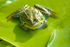 Image of a frog in the river Royalty Free Stock Photography