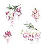 Image fuchsia flowers. Hand draw watercolor illustration.  vector illustration