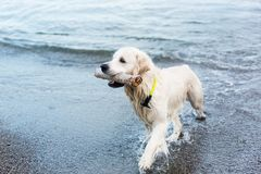 Image of a funny dog breed golden retriever has fun on the beach after swimming with the stick. In its mouth stock photo